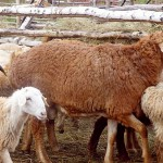 В честь Курбан-айта сельчанин простил похитителя, укравшего 10 овец