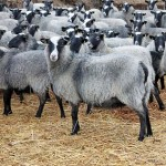 В Казахстане впервые налажен экспорт овец в дальнее зарубежье