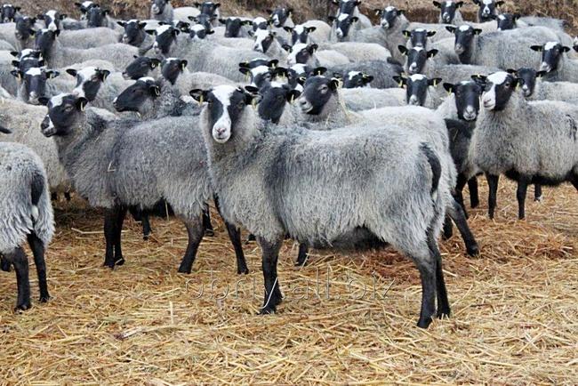 ovcy-romanovskie