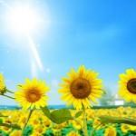 ТРУДный цветок солнца