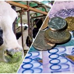 Вправе ли глава КХ распродать всех дойных коров на мясо?
