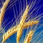 Афганистан планирует закупать североказахстанскую пшеницу