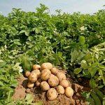 Должны ли мы оплачивать НДС при ввозе из России семян картофеля для собственных нужд? КХ. Павлодарская область.