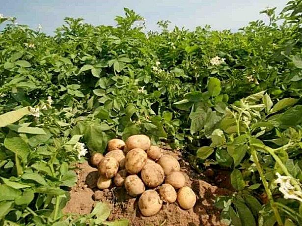 semena-kartofelya