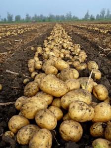 Картофель в поле (Семейкин, Тэрра) - 01