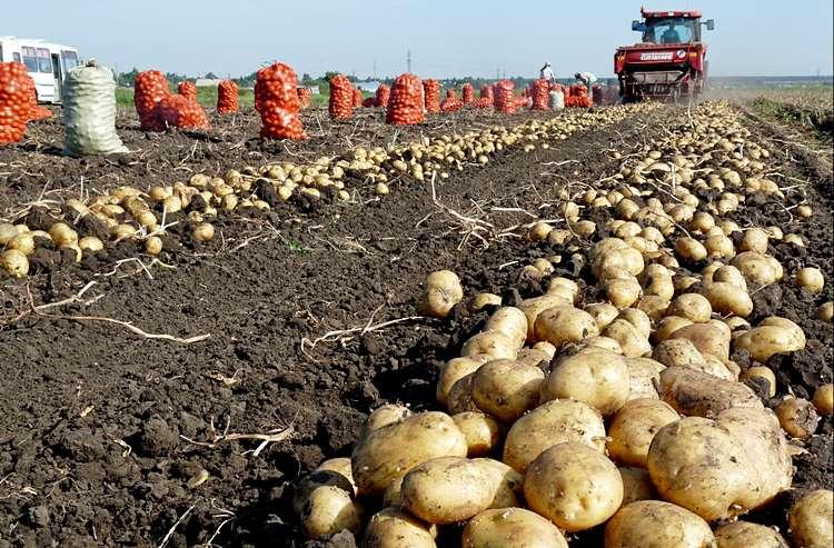 Картофель в поле (Семейкин, Тэрра) - 03