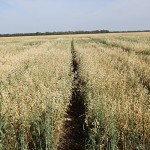 Учёные-селекционеры Акмолинской области вывели 6 новых сортов овса
