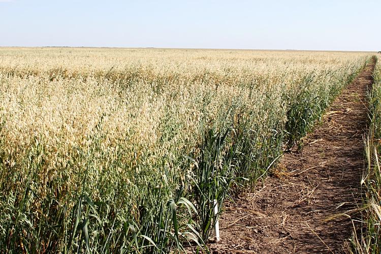 Посевы овса «Ишимский 13»