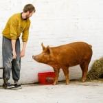 Британские актёры поставили спектакль для свиней