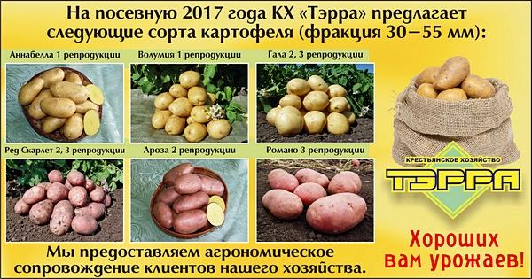 KX-Terrra-kartofel