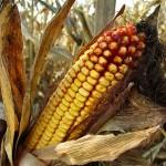Генетические модификации борются с опасным токсином