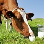 Куда «уходит» южноказахстанское молоко?