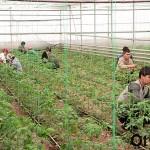 В теплицах Казыгуртского района ЮКО острый дефицит специалистов-аграриев