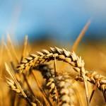 Оптимизация минерального питания и урожайность яровой пшеницы