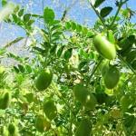 Выращиваем бобовые
