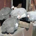 Предприниматели из СКО выращивают 24 породы домашних птиц
