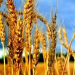 Сорта сельскохозяйственных растений, допущенные к использованию в РК