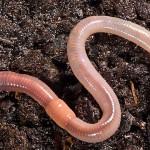 Вермитехнологии – секрет двойного урожая
