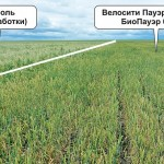 Гербицид «Велосити Пауэр» – инновационное решение компании «Байер» в контроле овсюга обыкновенного