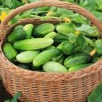 Почему огурцы стоят как мясо? Эксперт раскрыл тайну «золотых» овощей