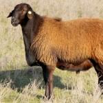 В ЮКО количество овец ордабасинской породы достигнет 125 тысяч