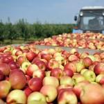 ЮКО может стать самым фруктовым регионом страны