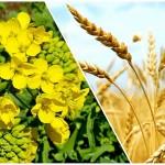 Главные враги урожая – природа и агроном!