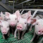Свинокомплекс европейского уровня хотят построить в СКО французские бизнесмены