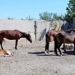 В Атырау отправили на штрафстоянку табун лошадей