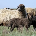 Учёные Юго-Западного НИИ животноводства и растениеводства предпринимают меры по спасению генофонда каракульских овец