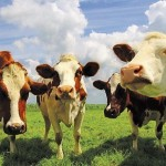 Можно ли разводить коров в Туркестанской области, как в Техасе?