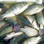 Более 4 тысяч тонн продукции ежегодно экспортируют аральские рыбзаводы
