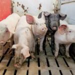 АЧС в Европе: фермерам заплатят за отказ от свиноводства