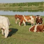 Штрафстоянки для скота появились в ЮКО