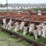 В Узункольском районе от необоснованных штрафов освободили 25 владельцев племенных быков