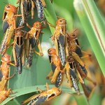 Деньги на борьбу с саранчой потрачены, и фермеры теряют посевы гектарами