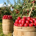 Как заработать на казахстанских яблоках?
