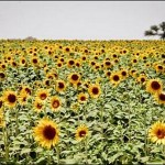 В Казахстане расширяются площади под масличными и зернобобовыми культурами