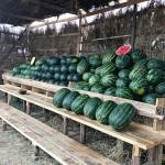 Вслед за капустой в Туркестанской области может пропасть урожай арбузов