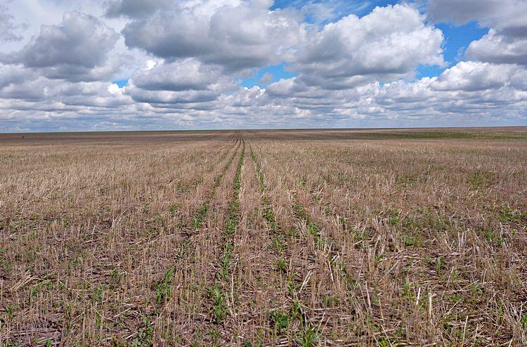 Всходы кукурузы по ноу-тилл (Костанайский район, село Жуковка) / Фото: ©АгроИнфо