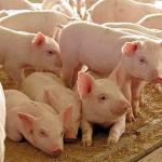 Могу ли я получить субсидии на приобретение племенных свиней или поросят? Имею ЛПХ в количестве 50 голов свиней.