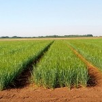 Ячмень на смену пшенице