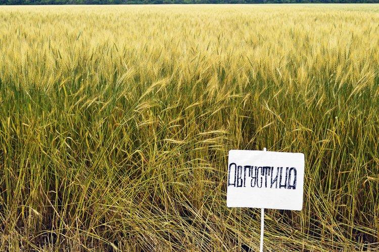 Пшеница мягкая сорта Августина / Фото: ©АгроИнфо