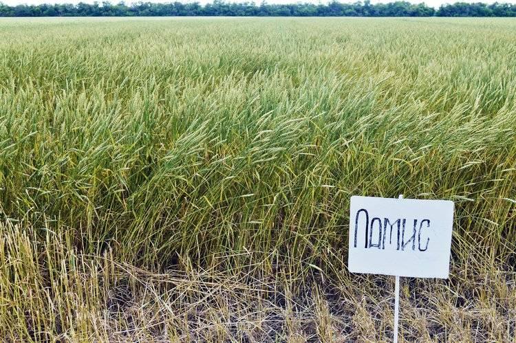 Пшеница мягкая сорта Ламис / Фото: ©АгроИнфо
