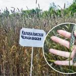День поля в Карабалыкской опытной станции