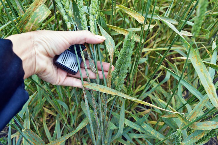 Стеблевая ржавчина поразила посевы пшеницы / Фото: ©АгроИнфо