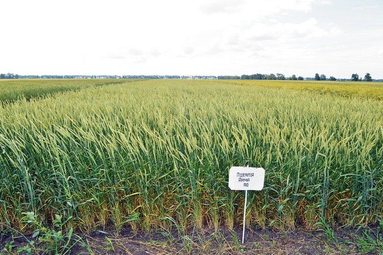 Яровая пшеница сорта Айна / Фото: ©АгроИнфо
