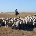 Как должны платить налоги пастухи, которые пасут общественное стадо? Могут ли они платить в кассу местного сообщества?