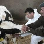 Странам Восточной Европы вновь угрожает вирус нодулярного дерматита