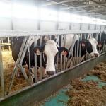 Подводные камни молочного скотоводства, или Опять о кетозе…